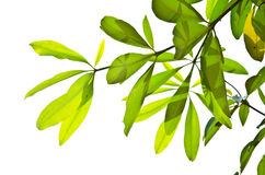 Green leaf isolated on the white. Stock Image