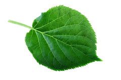 Green leaf isolated on white Leaf structure and spring nature concept Stock Photos