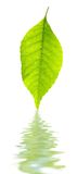 Green leaf and its reflection. Over white Stock Image