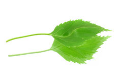 Green leaf with its reflection. On white background Stock Photo