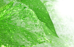 Green leaf of ivy Royalty Free Stock Photography