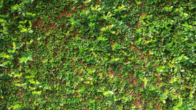 Green Leaf Ivy Vine Nature Wall Texture Background Stock Photos