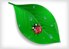 Green leaf and ladybird Royalty Free Stock Image
