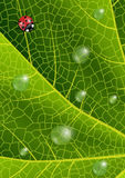 Green leaf with ladybird and waterdrops Stock Images