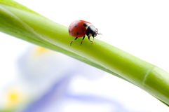 Green leaf with ladybug Royalty Free Stock Images