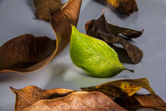 Green leaf with languish. Anticipate Languish leaf with green leaf stock photos