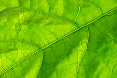 Green leaf. Large green leaf with veins Stock Photo