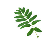 Green leaf. A large green leaf on a white background Stock Images