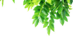 Green leaf. Green lead branch, isolated on white background Royalty Free Stock Photo