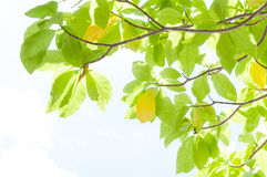 Green leaf leaves budding in the spring for background Royalty Free Stock Images