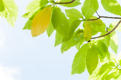 Green leaf leaves budding in the spring for background Stock Images
