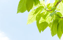 Green leaf leaves budding in the spring for background Royalty Free Stock Photo