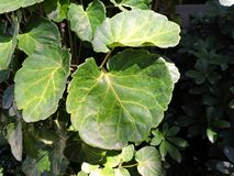 Green leaf  leaves. The sun is shining on the leaves Stock Photo