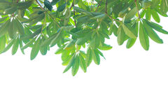 Green leaf. Green leaves on a white background Stock Images