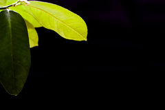 Green leaf of lemon on a black background background. Green leaf lemon in daylight on a black background background Royalty Free Stock Images