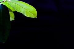 Green leaf of lemon on a black background background. Green leaf lemon in daylight on a black background background Stock Images