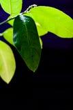 Green leaf of lemon on a black background background. Green leaf lemon in daylight with water drops on a black background background Stock Photos