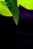 Green leaf of lemon on a black background background. Green leaf lemon in daylight with water drops on a black background background Royalty Free Stock Images