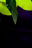 Green leaf of lemon on a black background background. Green leaf lemon in daylight with water drops on a black background background Royalty Free Stock Photo