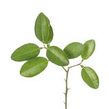 Green leaf of lemon tree on small branch. Studio shot isolated o Stock Photography