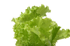Green leaf lettuce Royalty Free Stock Image