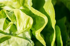 Green leaf lettuce Royalty Free Stock Photography