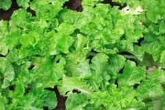 Green leaf lettuce, leaf background royalty free stock images