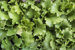 Green Leaf Lettuce Stock Photography