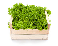 Green leaf lettuce in crate Royalty Free Stock Images