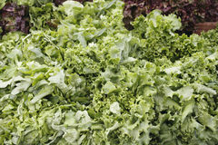 Green leaf lettuce display. At outdoor market. Red leaf lettuce in back Stock Photo