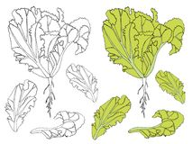 Green leaf lettuce and hand drawn monochrome sketch leaf lettuce design elements stock Royalty Free Stock Photos