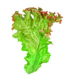 Green leaf lettuce with red piping Royalty Free Stock Image