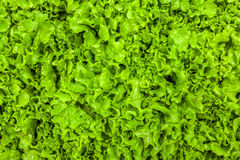 Green leaf lettuce texture Stock Images
