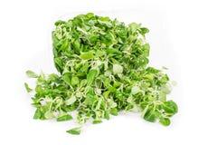 Green leaf of lettuce. Stock Photo