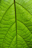 Green leaf on a light Stock Images