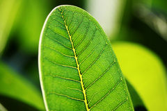 Green Leaf transparancy through the daylight stock photography