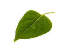 Green leaf of lilac bush isolated on white background Royalty Free Stock Photos