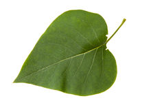 Green leaf of lilac bush isolated on white background Royalty Free Stock Photo