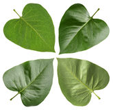 Green leaf lilac Royalty Free Stock Image