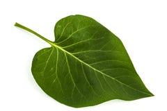 Green leaf of Lilac, Syringa vulgaris, isolated on white backgro Stock Photography