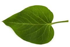 Green leaf of Lilac, Syringa vulgaris, isolated on white backgro Royalty Free Stock Images