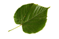 Green leaf of lime tree isolated on white backgr Stock Photos