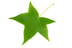 green leaf of Liquidambar styraciflua isolated on white background Stock Photos