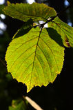 Green leaf lit by sun Stock Image