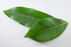 Green Leaf longan tree isolated Stock Image