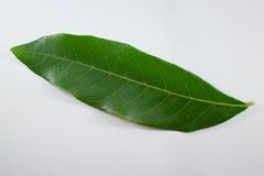 Green Leaf longan tree isolated Royalty Free Stock Image