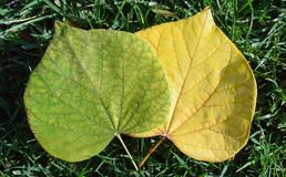Green leaf losing chorophyll pigment color. Stock Images