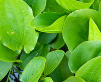 Green leaf of lotus Stock Images