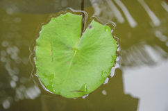 Green leaf lotus Stock Photos