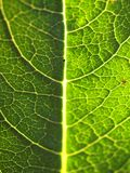 Green leaf macro. A macro shot of a beautiful leaves Royalty Free Stock Image